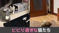 ビビり過ぎな猫たち(8日配信)