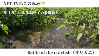 Battle of the crayfish(ザリガニ)録画配信